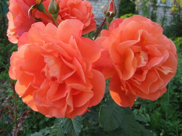 Вестерланд westerland роза