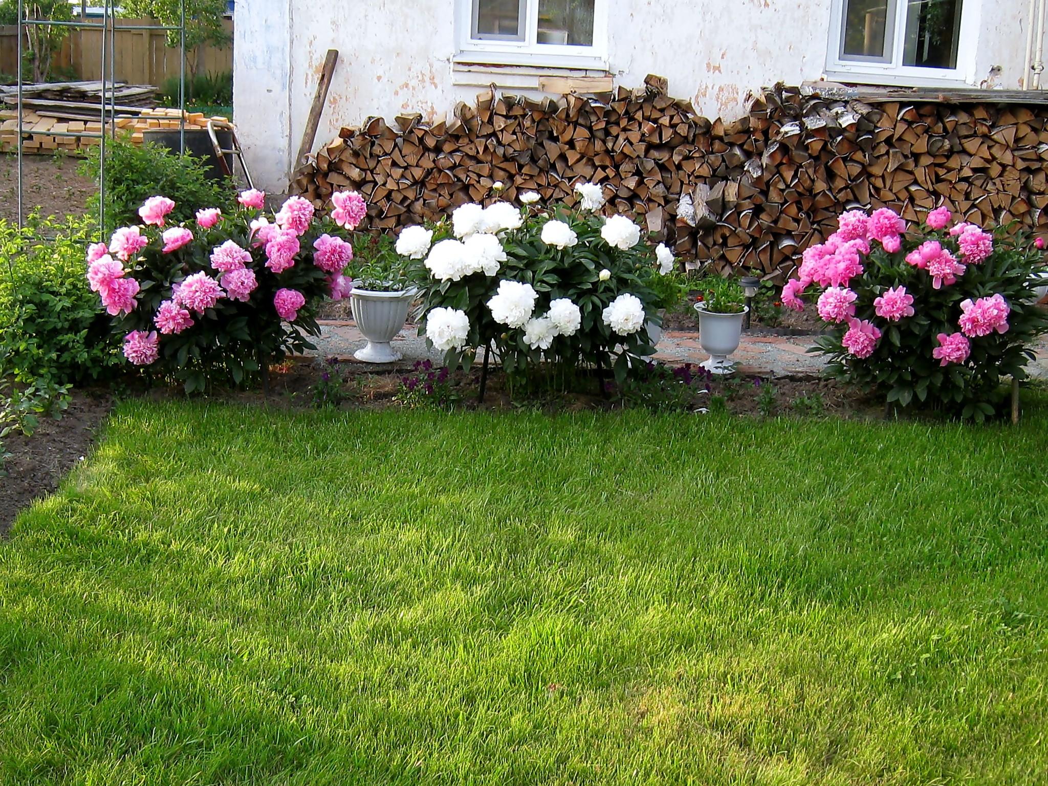 как красиво посадить пионы на участке фото жители уважительно