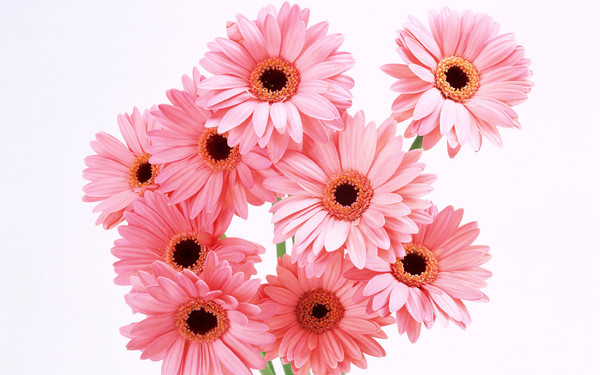 Как называется большая ромашка цветок