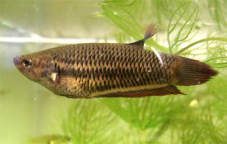 фото рыбки петушка самки