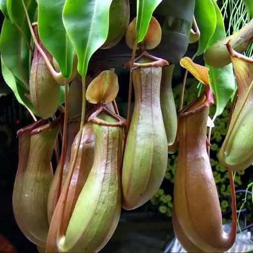 Мухоед цветок фото