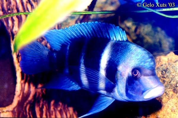 аквариумные рыбки фото и названия цихлиды описания #4