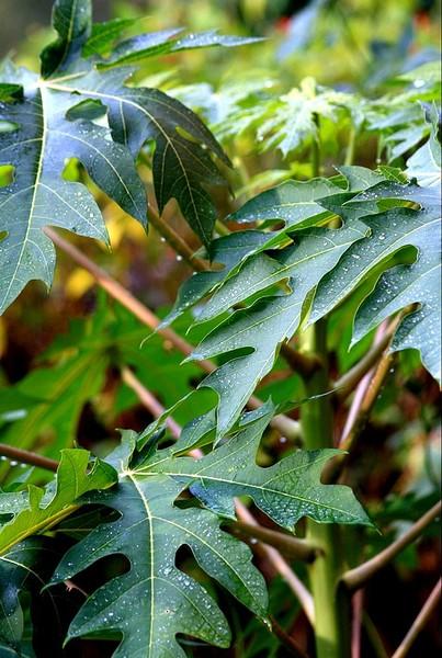 papaya leaves thesis Introduction to papaya thesis potential: papaya and the ancient maya split leaf philodendron, monstera deliciosa.