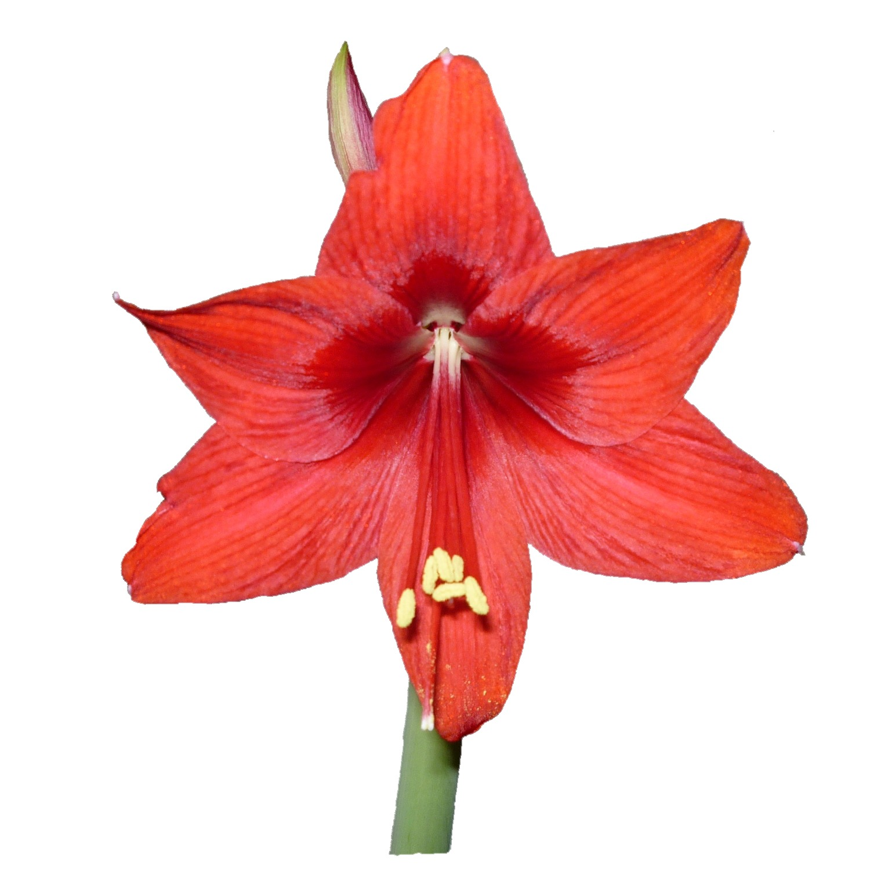 Как называется цветок с одним стеблем и красными цветами