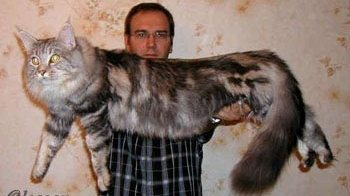 Самый огромный домашний кот в мире