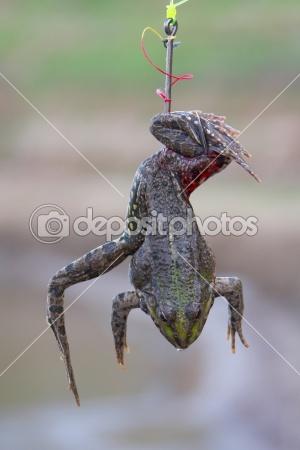 Ответы Mail.Ru: Как цеплять лягушку на крючок для ловли сома?