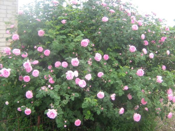 Купить куст чайной розы городские цветы апельсин купить