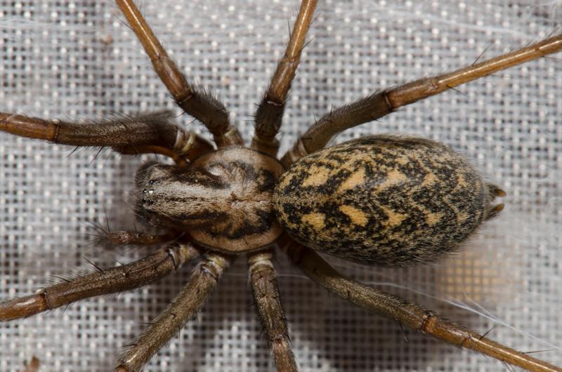 домовые пауки фото часть