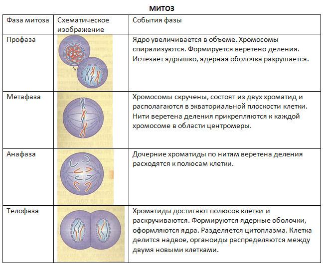 стадия деления соматической клетки во время которой