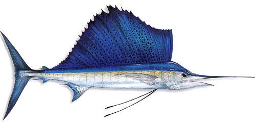 Как нарисовать рыбу парусник