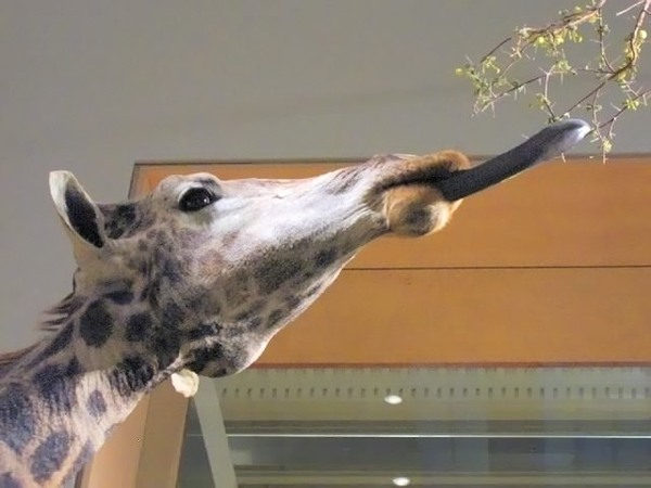 Язык жирафа цвет