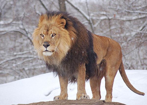 Лев сексуален