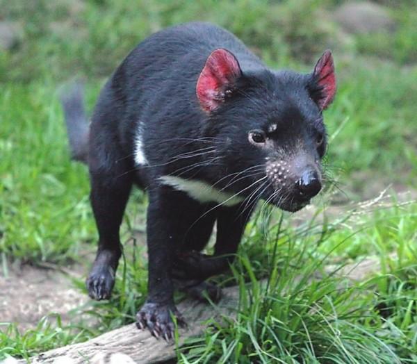 Скачать звуки тасманийского дьявола