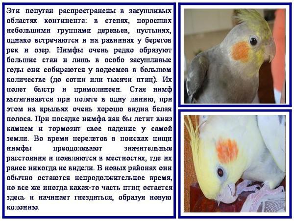 Можно кормить волнистого попугая пшеном