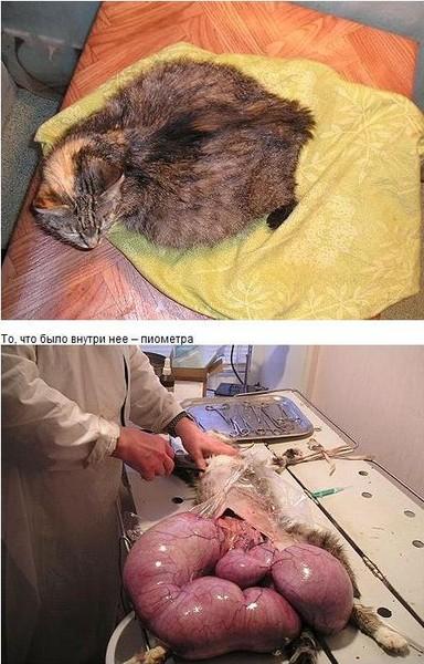 главная задача почему стерилизованная кошка орет термобелье