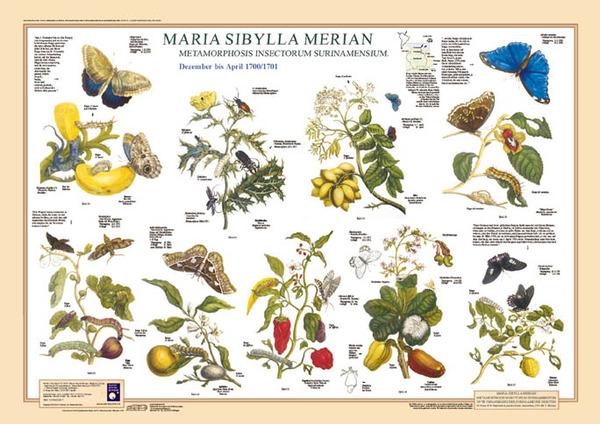 Картинки по запросу Мария Мериан
