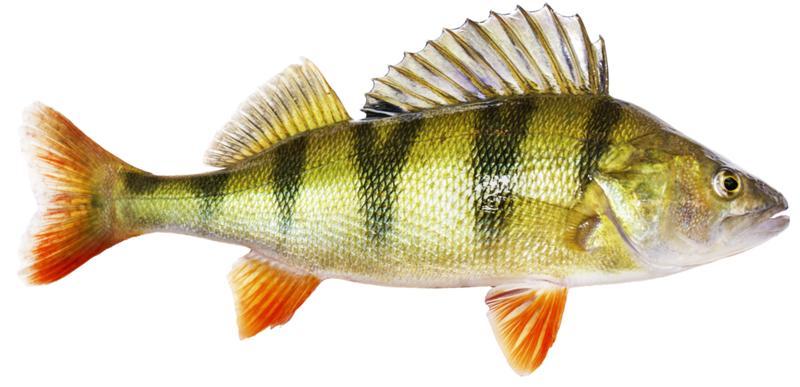 Картинка с рыбой окунь