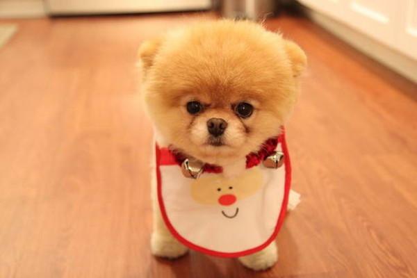 Собаки похожие на игрушечных