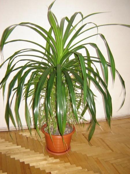 Панданус (пандан, винтовая пальма) – уход в домашних ...