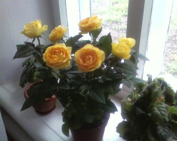 Розы домашние уход пересадка