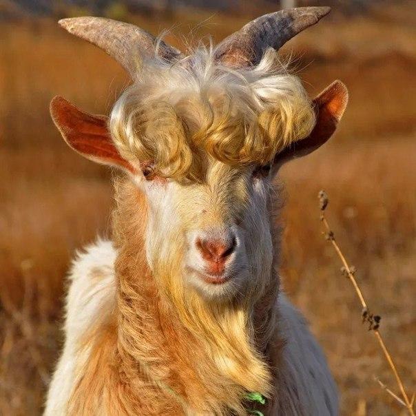 Картинки с надписью ты коза, новогоднею картинки