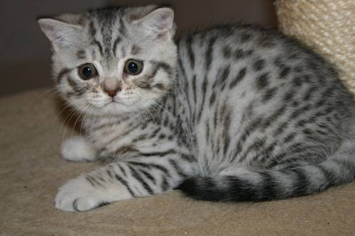 Шотландские коты окрас вискас