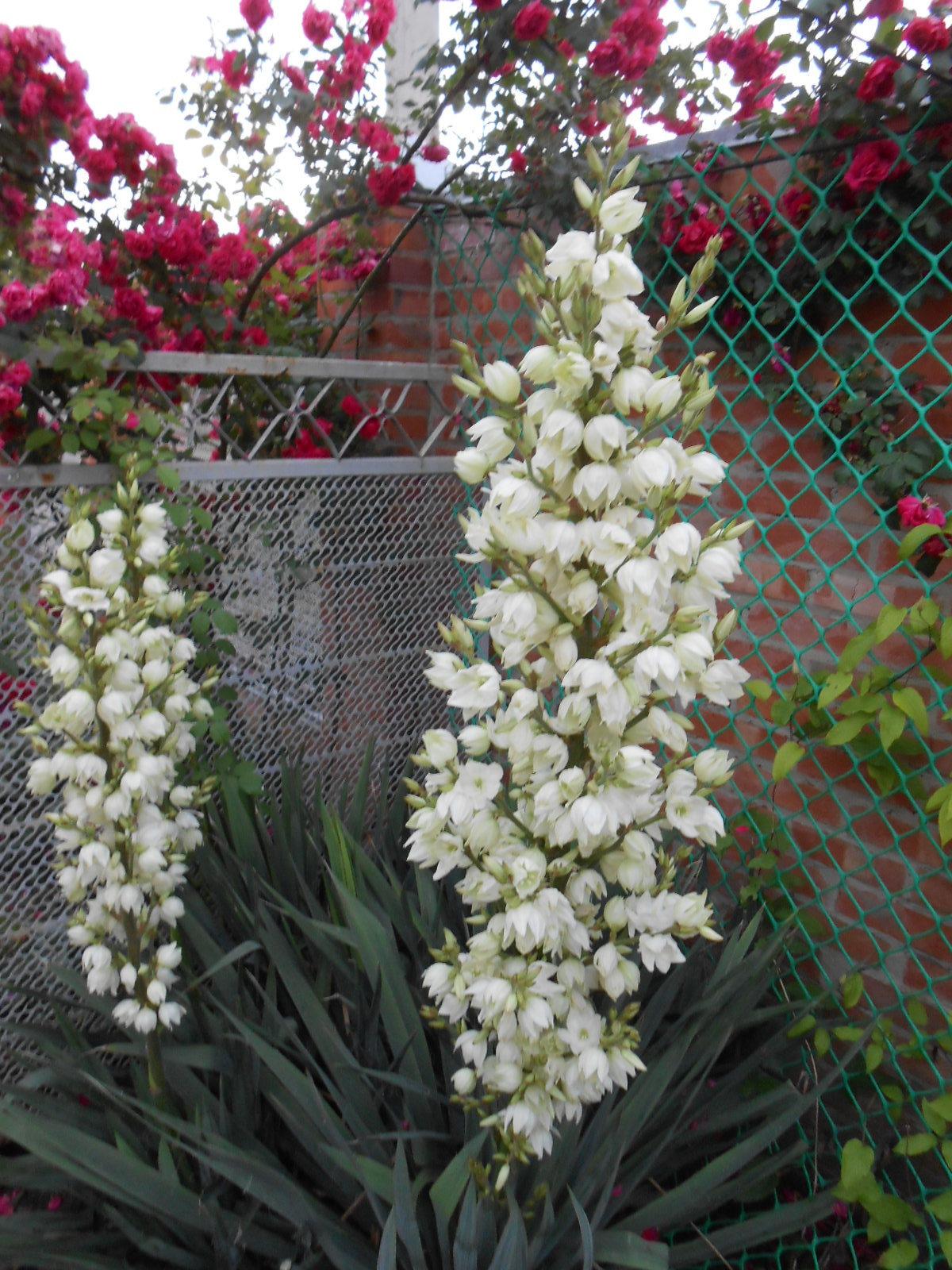 юка цветок садовый