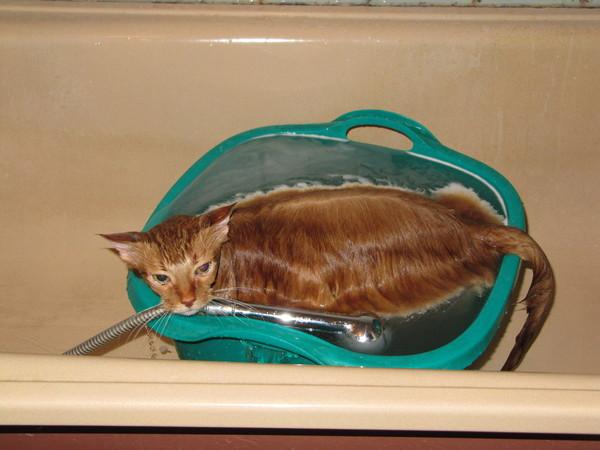 Можно ли купать кота шампунем