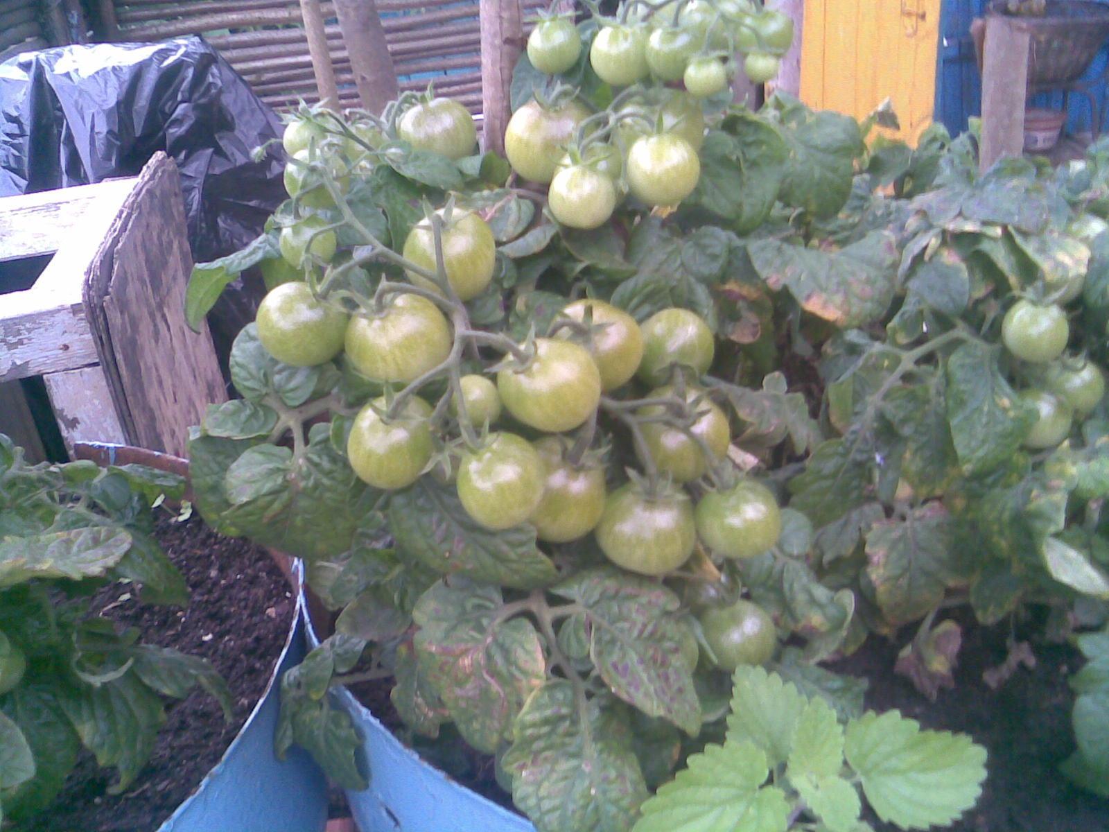 Ответы@mail.ru: сорта помидор для выращивания на балконе.