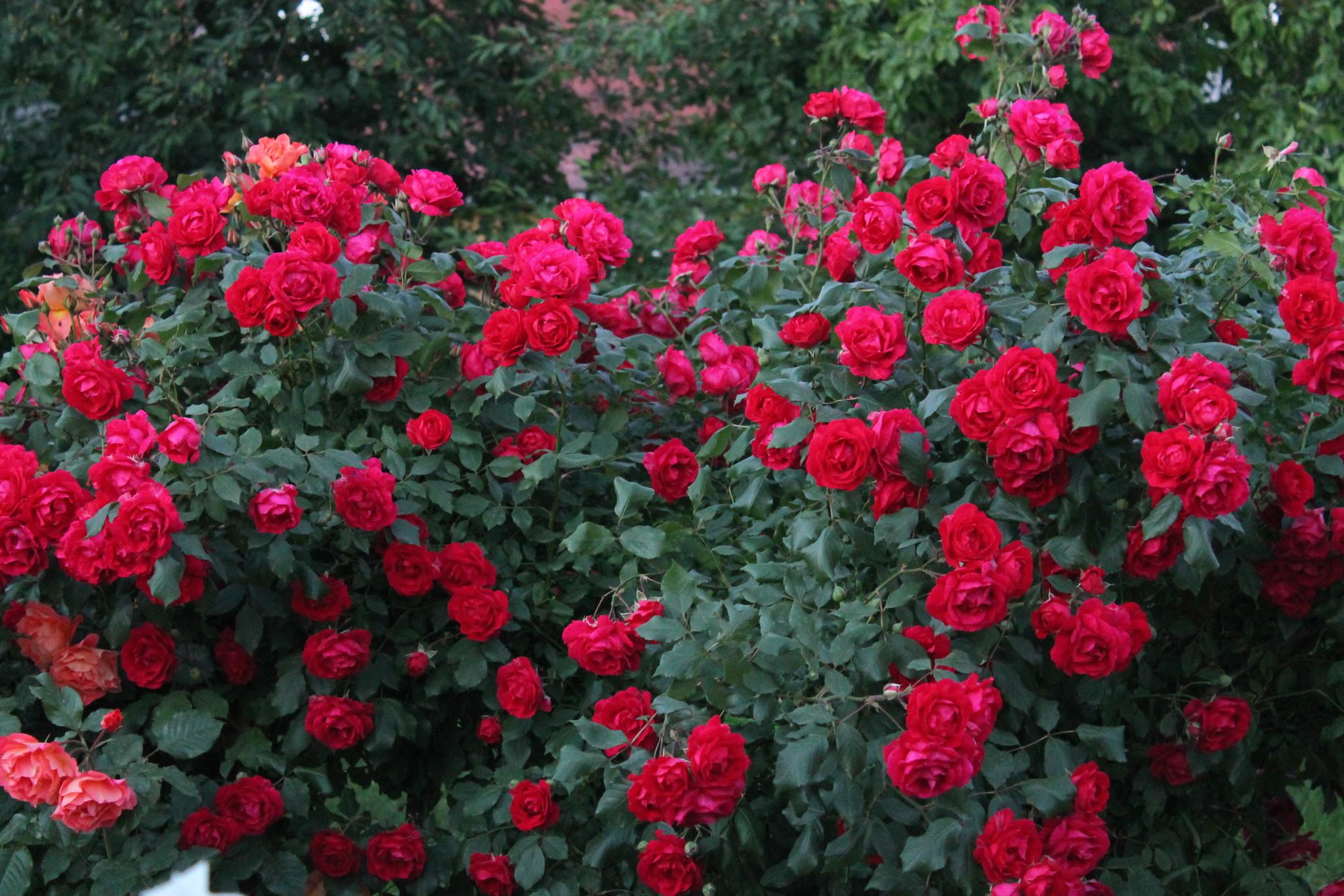 что узор кусты роз названия и фото цбк