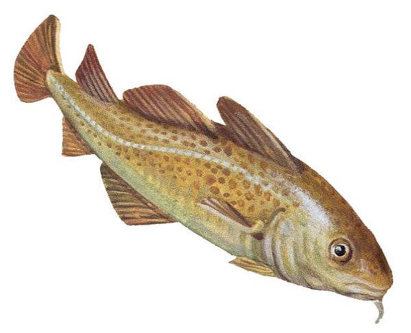 лабарданс рыба