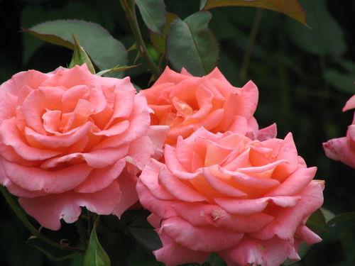 Чем отличается роза флорибунда от чайно-гибридной