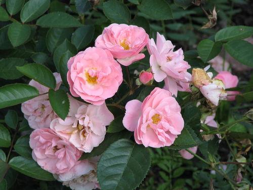 Чем отличается чайно-гибридная роза от флорибунды