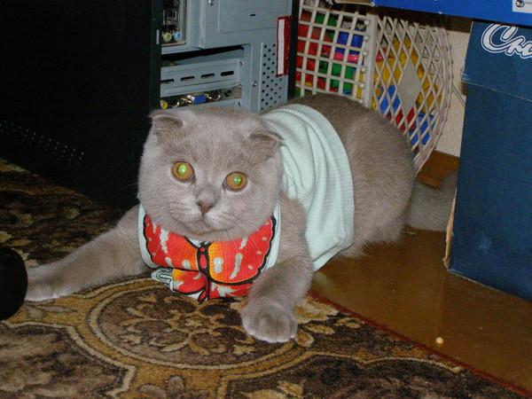 Кот Британец Похудел Причина. Почему кот сильно похудел, но ест хорошо: он болен?