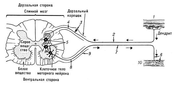 Рефлекторная дуга безусловного рефлекса схема 36