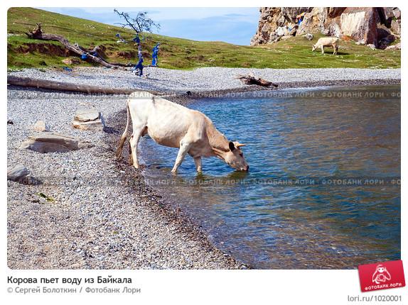Сонник пьют коровы воду