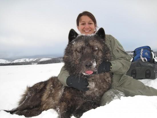 собака волк порода фото