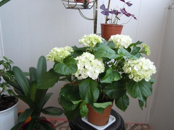 Можно ли держать дома цветок невеста
