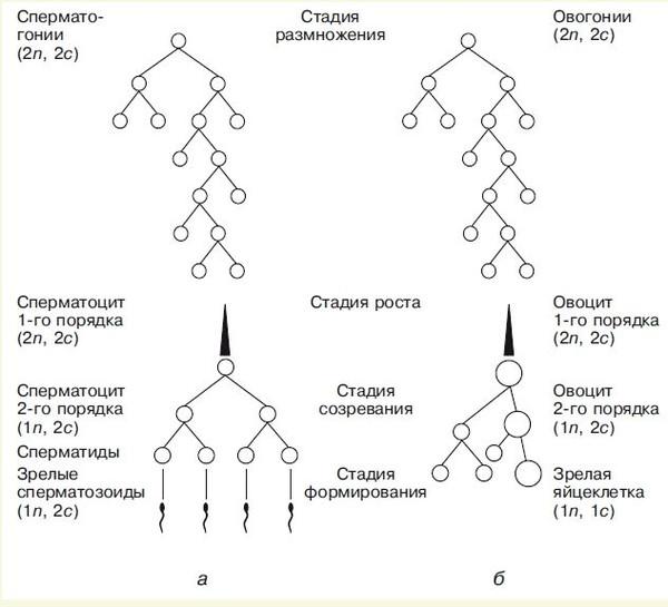 Схема гаметогенеза: à u2014