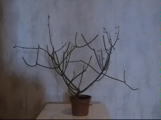 палочник фото растение