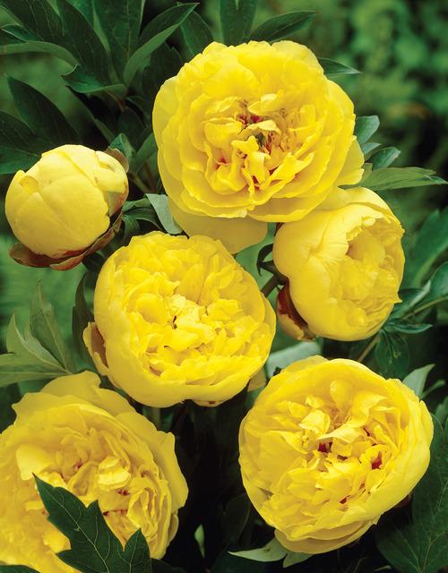 фото желтые пионы