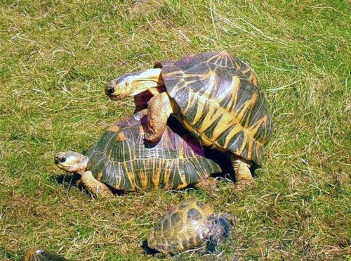 Красноухие черепахи брачный период