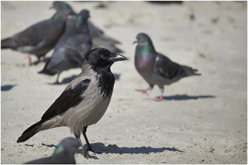 покупайте картинка воробья голубя вороны этом сезоне