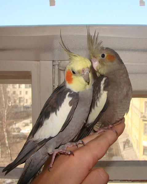 Различие попугаев корелл