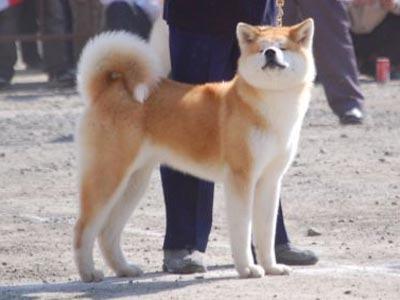 порода собак хатико фото цена