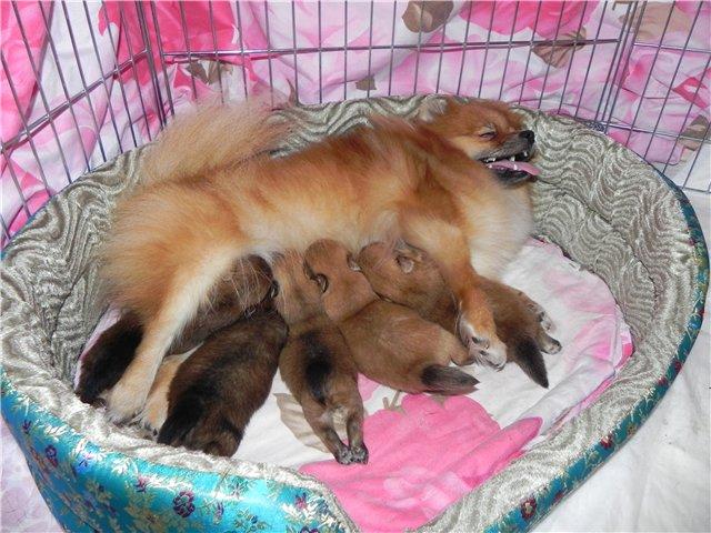 сколько щенков рожает миниатюрный шпиц графики реальном