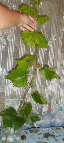 как укоренить ветки одичавшего винограда