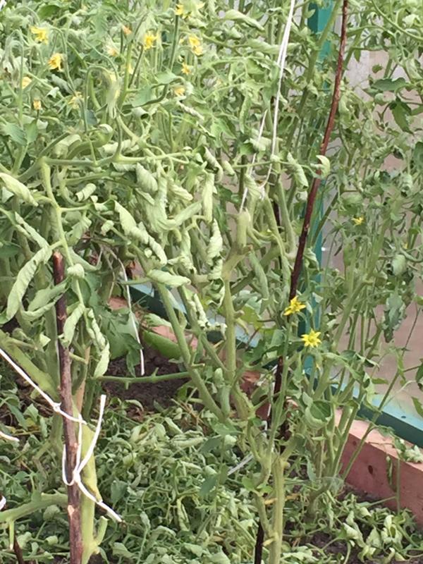 Плесень на цветках помидор в теплице