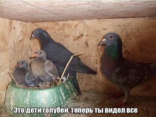 Где маленькие голуби