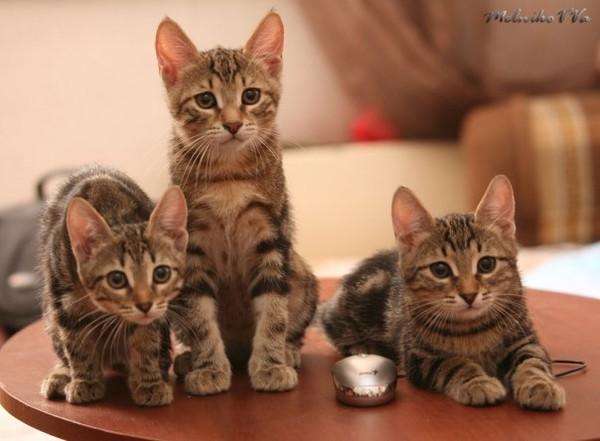 Фото европейской котят